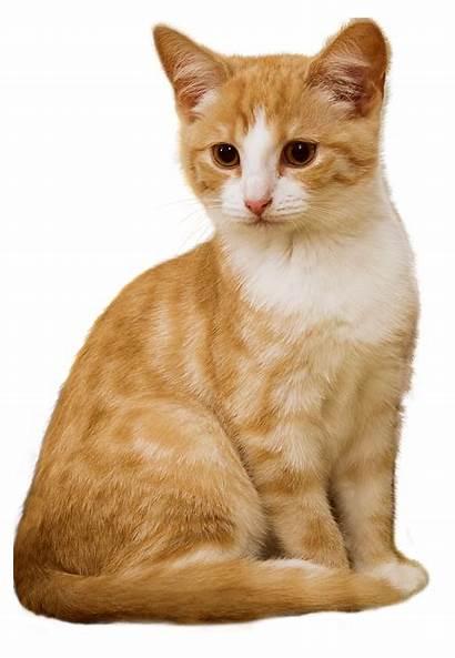 Cat Pixabay Kitten Sit Isolated