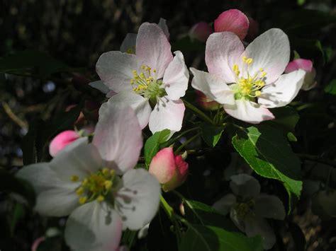 crabapple blossoms wallpapers crabapple blossoms