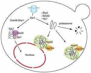 Assembly And Quality Control Of The Protein Phosphatase 1
