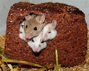 Maus Im Zimmer : vielzitzenm use m use nager kostenloses foto auf pixabay ~ Indierocktalk.com Haus und Dekorationen