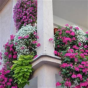 Welche Pflanzen Für Balkon : balkonpflanzen pflanzen auf dem balkon standort sonne ~ Michelbontemps.com Haus und Dekorationen