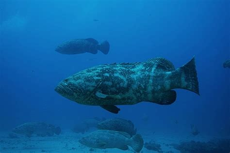grouper goliath shark bite sun eating sentinel eats