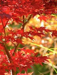 Japanischer Ahorn Im Kübel : japanischer ahorn f r balkon und terrasse im k bel und ~ Michelbontemps.com Haus und Dekorationen