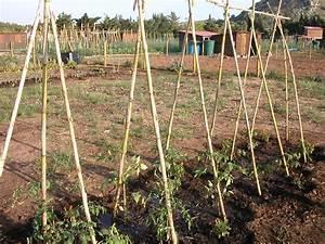 Comment Tuteurer Les Tomates : tuteurer les tomates ai67 montrealeast ~ Melissatoandfro.com Idées de Décoration