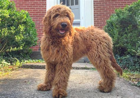 Goldendoodle Behaviour Obedience Training At Your Home In Yorkshire