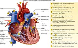 Heart Diagram Blood Flow Through