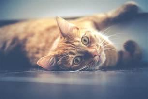 cat dander what is cat dander allergy how to reduce or