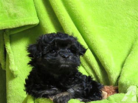 ocherese puppy male pekingese maltese poodle mix