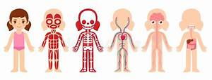 Human Body Anatomy  Little Girl  Stock Vector