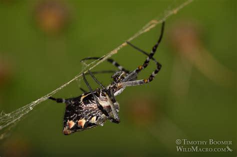 Silver Garden Spider (argiope Argentata) Pictures