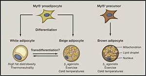 White  Beige  And Brown Adipocytes Are Developmentally And