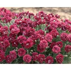 Prunella Hybrid Tale Flower   Gardening: Flower and Vegetables