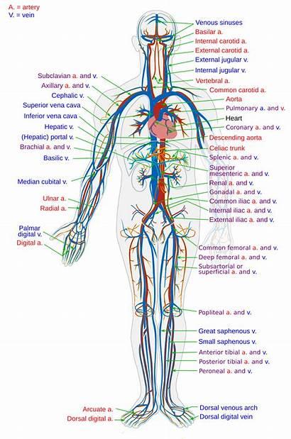 Circulatory Wikipedia Collapse System Svg