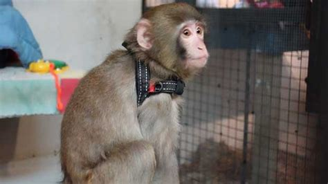 Battle Over Ownership Of Ikea Monkey Finally Over As 'mom