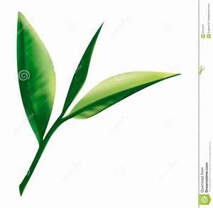 Tea leaf stock vector. Illustration of drawing, flora ...