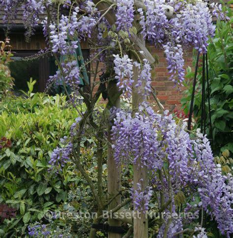 Wisteria Sinensis Blue Sapphire Climbing Plant 3 Litre Pot