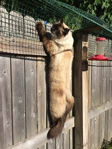 Cat Containment Fence  One Reader Shares How He Contains His Ragdoll Cat