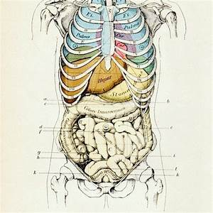 Illustration  Human Rib Cage Over Lungs  Heart  Other