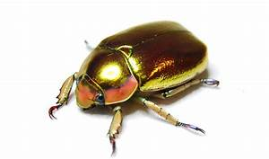 Secret Of Why Jewel Scarab Beetles Look Like Pure Gold