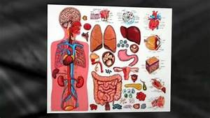 Diagram Of The Human Body Organs