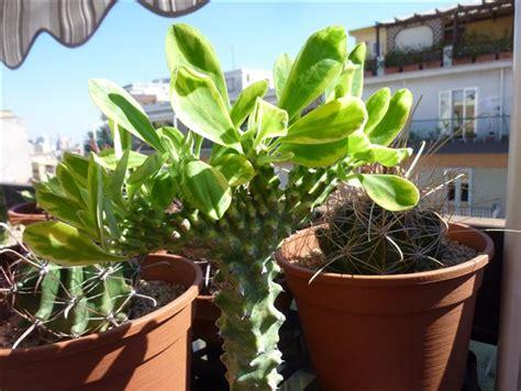 euphorbia neriifolia cv cristata variegata cactofili