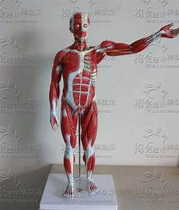 High Quality Human Body Muscles Visceral Model Human Muscle Anatomy Free Shipping