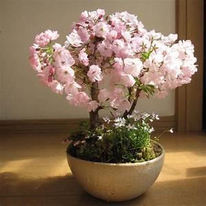 egrow 10pcs rare sakura seeds cherry blossoms seeds garden With garten planen mit bonsai azalee