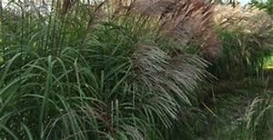 Welches Gras Als Sichtschutz : chinaschilf miscanthus sinensis gro e fontaine sortenvorstellung ~ Sanjose-hotels-ca.com Haus und Dekorationen