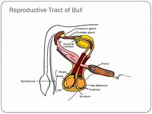 Animal Reproductive Tracts
