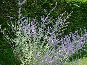 Acheter Des Plantes : perovskia atriplicifolia 39 blue spire 39 plantes vivaces acheter des plantes en ligne ~ Melissatoandfro.com Idées de Décoration