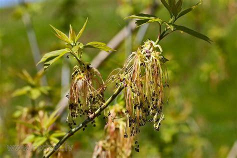 Ošlapu kļava pavasarī - Ošlapu kļava (Acer negundo ...