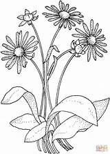 Daisy Coloring Asteraceae Printable Flowers Adult Drawing Paper Super Many Drawings sketch template