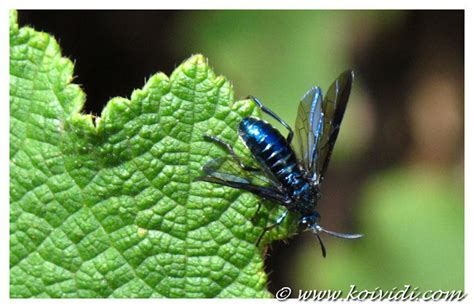l introduction de la mouche bleue 224 la r 233 union koi vi di