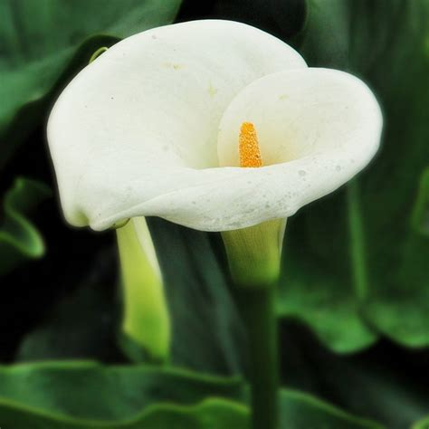 zantedeschia aethiopica bulbs for sale buy arum lily bulb zantedeschia aethiopica