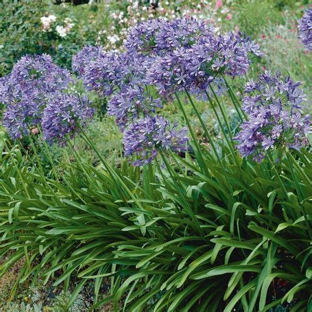riesen wolle kaufen afrikanische schmucklilie headbourne beetstauden mein garten explodiert agapanthus blue