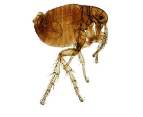 parasiten bei ratten ektoparasiten