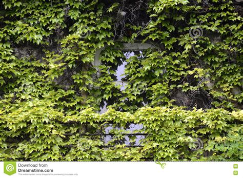 House Wall Covered With Green Climbing Plants Stock Photo