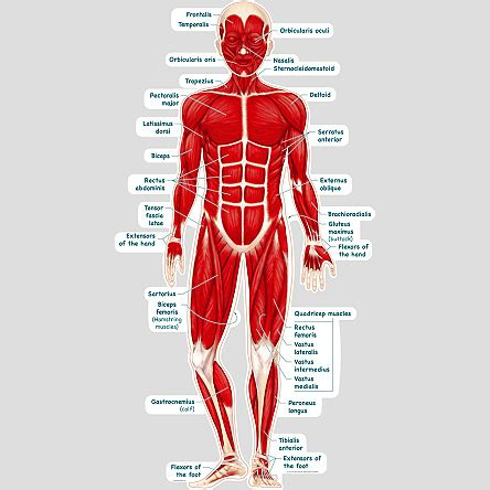 (bmd) similar to dmd but allows muscles to function better than in. Simplified Muscular System - Labeled - BodyPartChart Official Site