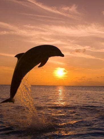 bottlenosed dolphin leaping  sunset photographic print