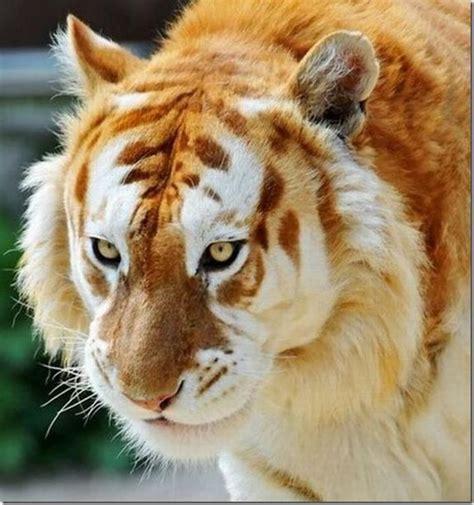 Rare Golden Tiger Animals
