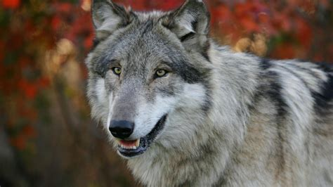 And Wolf Wallpaper Hd by Hd Wolf Wallpapers 1080p 71 Images