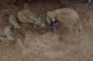 Zoo captures baby elephant being born and mum's amazing ...