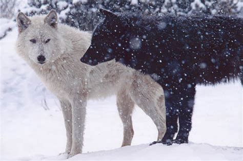 Run With The Pack~ A Wolf Rp (needs Players!!!)