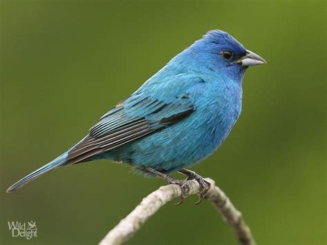 platform bird feeder indigo bunting delightwild delight