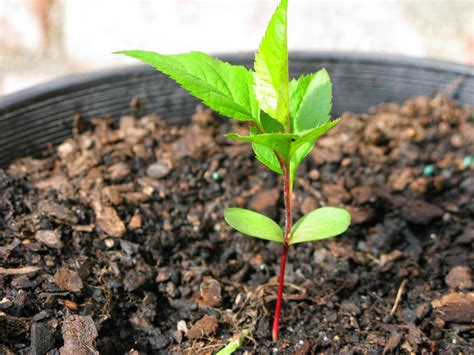planting apple seeds how to grow an apple tree from seed the garden of eaden