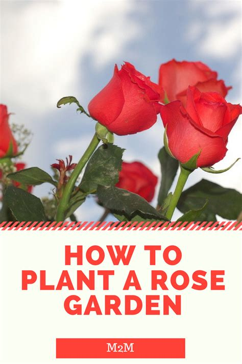 how to plant roses how to plant a rose garden mother2motherblog