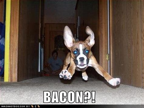Dog Bacon Meme - boxer dog funny quotes google search boxers pinterest dog funnies dog and funny boxer dogs