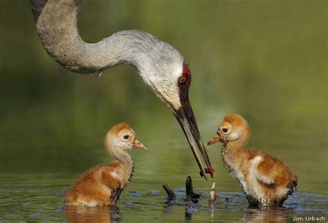 sandhill cranes images  pinterest babies