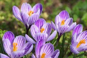 Wann Blühen Krokusse : krokus pflanzen pflege und vermehren der krokusse ~ Eleganceandgraceweddings.com Haus und Dekorationen