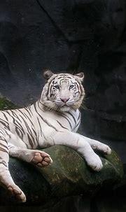 White Bengal Tiger Wallpaper 4K, Zoo, Cave, White tiger ...
